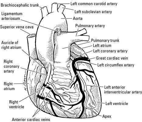 Arteries And Veins That Feed The Heart Dummies