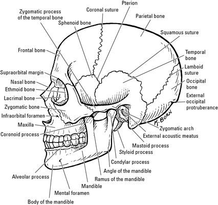 The Bones In The Neurocranium