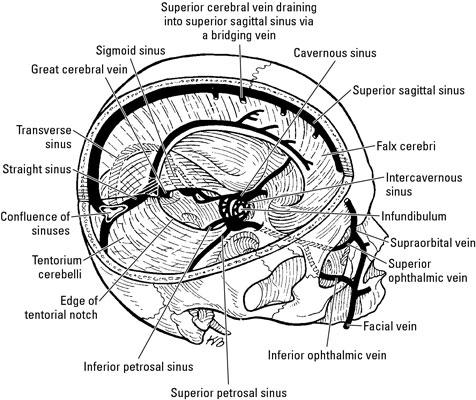 Anatomy of the Brain: The Meninges - dummies