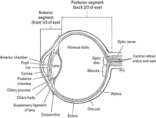 muscles  nerves  and blood vessels in the human eye
