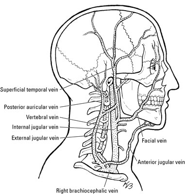 Nerves And Blood Vessels In The Root Of The Neck Dummies