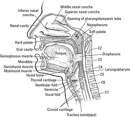 The Pharynx, Larynx, and Trachea - dummies