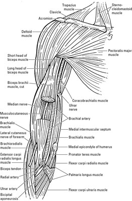 nerves and veins in the elbow and forearm