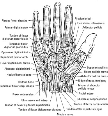 Nerves, Arteries, and Veins of the Wrist and Hand - dummies