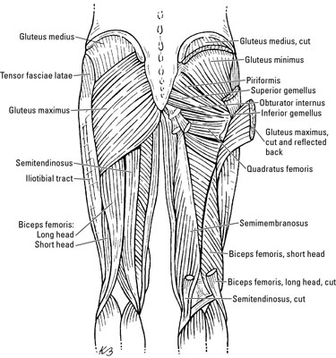 The Gluteal Muscles - dummies