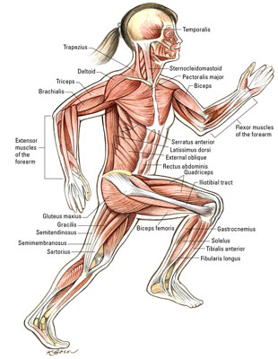 Muscles That Move the Knee and Ankle - dummies