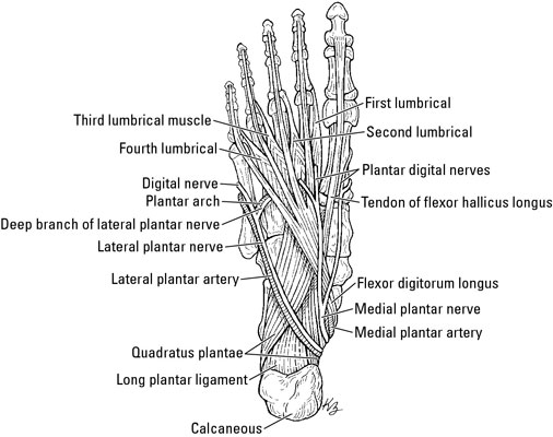 Clinical Anatomy The Muscles Of The Foot Dummies