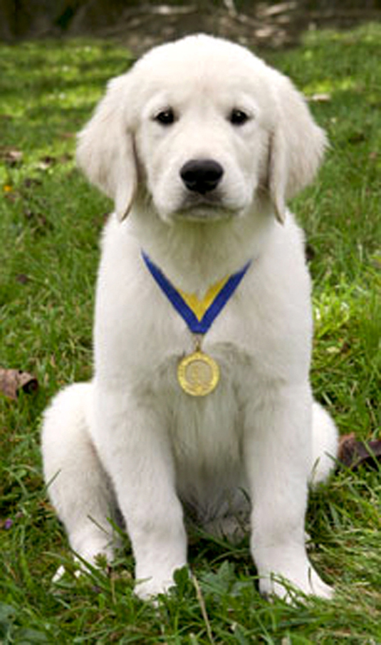 A golden retriever puppy wearing a medal.