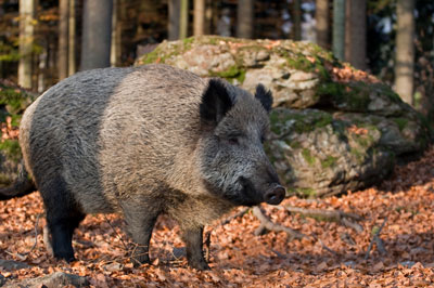 A boar in the wild.