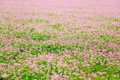 A field of astragalus plants.