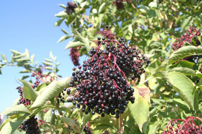 An elderberry tree filled with berries.