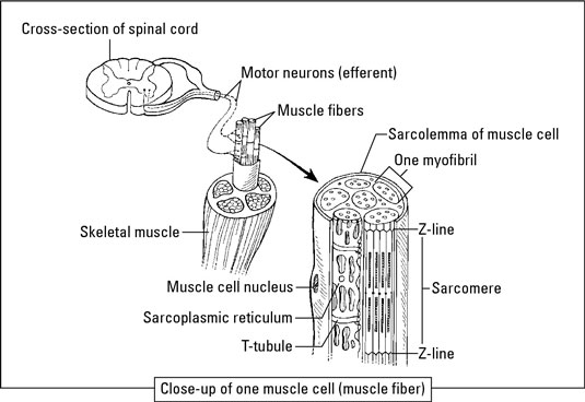 Skeletal muscle structure. [Credit: Illustration by Kathryn Born, M.A.]