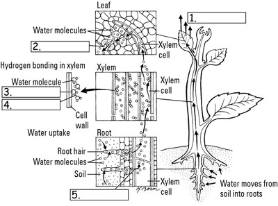 How plants pull and transport water dummies credit illustration ccuart Image collections