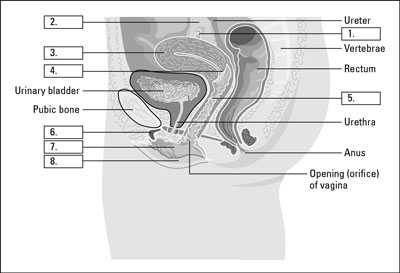 The parts of the female reproductive system dummies credit from lifeart super anatomy 1 2002 lippincott williams ccuart Images