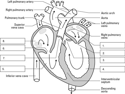 Navigate the human heart and circulatory system dummies the structures of the human heart and the flow of blood through them the diagram ccuart Image collections