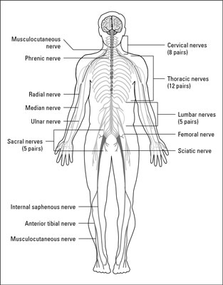 Nervous Systems of Animals - dummies