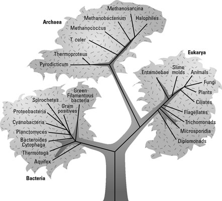 A phylogenetic tree of life on Earth based on rRNA genes.