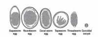 The eggs of several types of intestinal parasites.