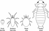 The usual external parasites that affect chicken.