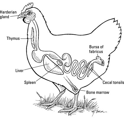 The Organs Of A Chickens Immune System