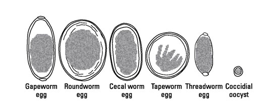 Most common types of parasite eggs.