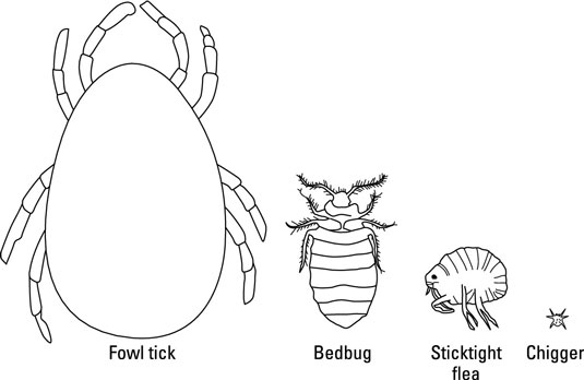 Temporary External Parasites of Chickens - dummies
