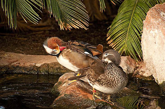 Two ducks grooming by a pond.