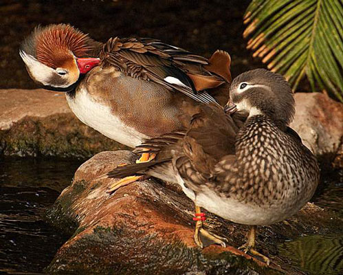 Close-up of two ducks grooming.