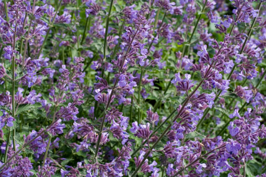 4 Natural Insect Repellent Plants For Your Chicken Garden Dummies