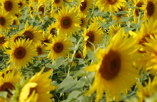 5 Seed-producing Plants You Can Grow For Chickens