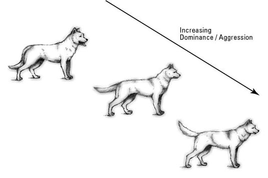 Common dog postures showing dominance and aggression.