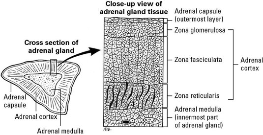 Basic Anatomy Of An Adrenal Gland Dummies