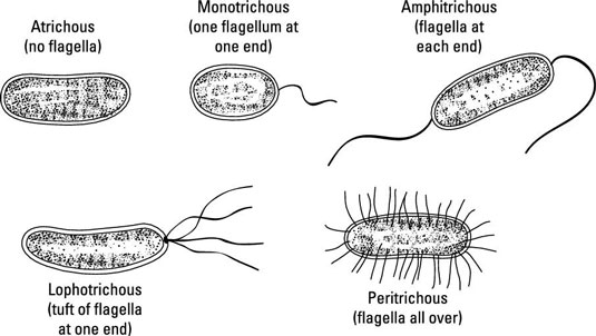 Klasifikasi Bakteri Berdasarkan Alat Gerak Dan Kedudukan Flagela