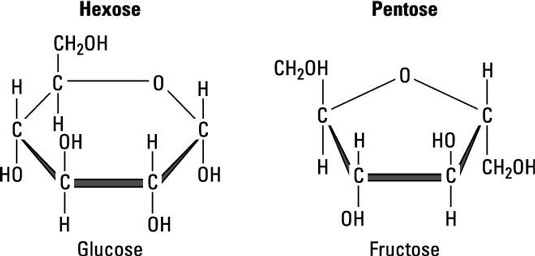 Cells Sugars And Polysaccharides Dummies