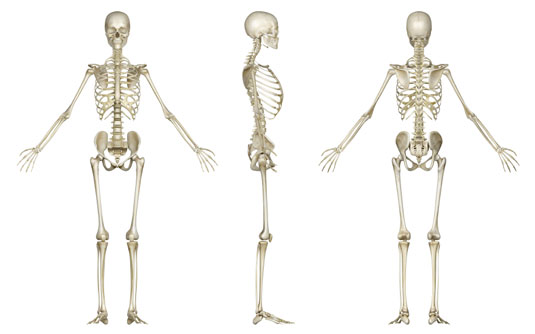 4 Fun Facts About Human Bones - dummies