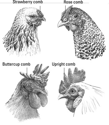 The Parts of a Chicken\'s Head and Neck - dummies