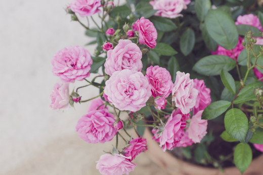 How To Care For Miniature Roses Dummies