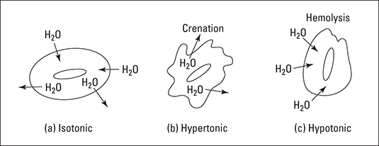 Crenation and hemolysis of red blood cells.