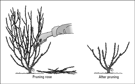 How to use sharp clippers to prune a rose bush