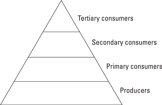 A typical energy pyramid.
