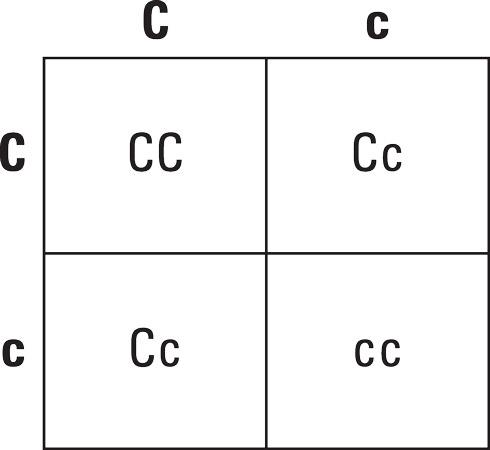 A Punnett square for a breeding.