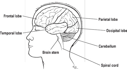 Brain Structure And Function Of Those With Bipolar Disorder Dummies