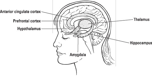 Brain structure and function of those with bipolar disorder dummies inside the human brain credit illustration by kathryn born ma ccuart Images