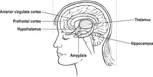 Inside the human brain. [Credit: Illustration by Kathryn Born, MA]