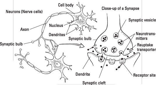Cell-to-cell communication via neurotransmitters. [Credit: Illustration by Kathryn Born, MA]