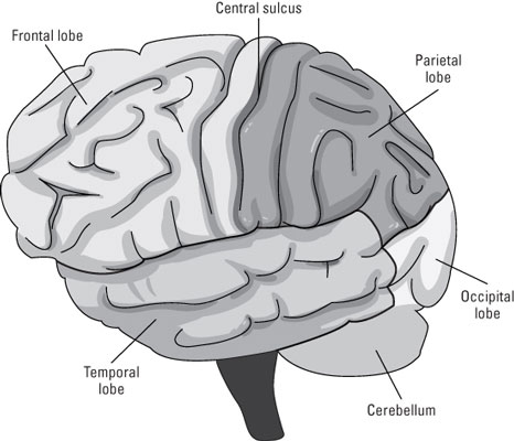 The neocortex.
