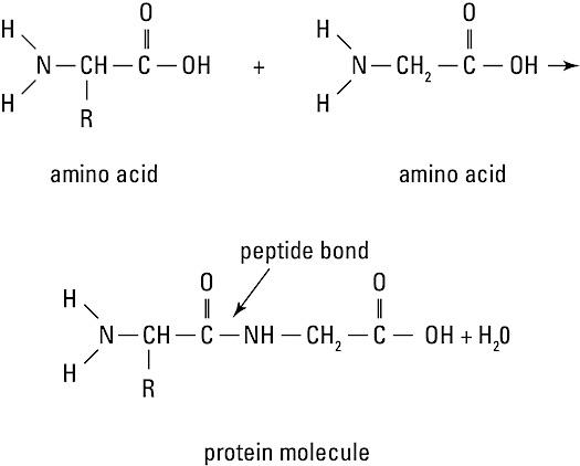 anatomy-protein