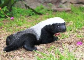 Baby Honey Badger
