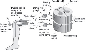 Spinal-Reflex