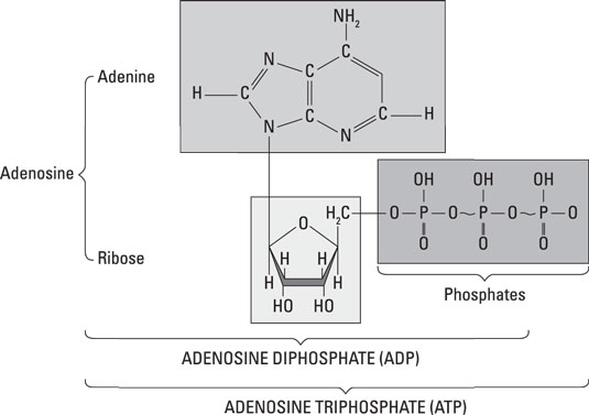 anatomy-physiology-atp